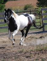 Paint Horse/Black and White Pinto