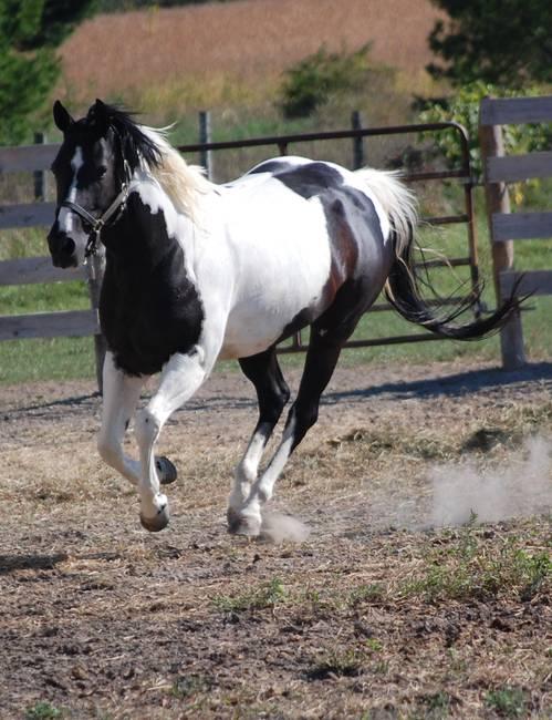 Black and white pinto horse - photo#19