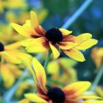 """black eyed susans"" by mcinallysphotos"