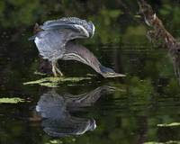 Green Heron Stretch