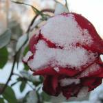 """Snow Rose"" by kimberlyfdr"