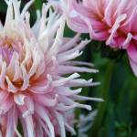 """Pink Dahlia"" by AppleoftheEye"