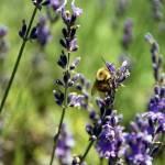 """Plight of the Bumble Bee"" by AppleoftheEye"