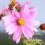 """""""pink aster"""" by dimagemaker"""
