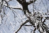 Snowy Cottonwood    0303