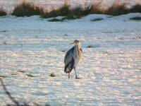 Heron on Snowfield