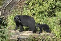 Mama Bear and Cub on Log, Anan Creek, Alaska