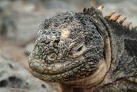 Land Iguana Closeup