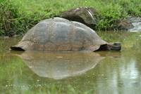 Galapagos Tortoise Reflection II
