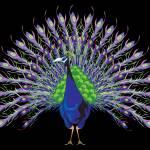 """""""Peacock"""" by Azodnem"""