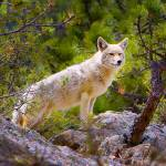 """Coyote Rocky Mountain National Park"" by jamesomedia"