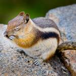 """Chipmunk Rocky Mountain National Park"" by jamesomedia"