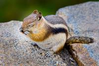 Chipmunk Rocky Mountain National Park