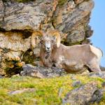 """RAM Rocky Mountain National Park, CO"" by jamesomedia"