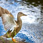 """Duck Rocky Mountain National Park, CO"" by jamesomedia"