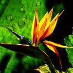 """Bird of Paradise"" by elayne"