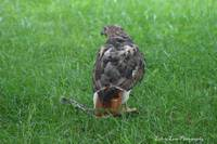 Hawk & it's Prey