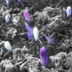 """Crocus in the frost"" by StephenIK"