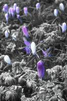 Crocus in the frost