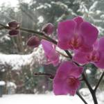 """Orchid in the Snow"" by Krunchie"