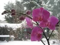 Orchid in the Snow