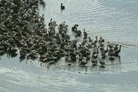 Gathering of Brown Pelicans II