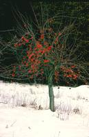 Apple Tree in Snow