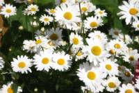 White Daisies Painterly