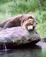 Dream Pool Bear