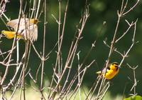 Two Yellow songbirds.