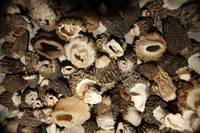 Fresh, Gourmet, wild Morel Mushrooms