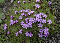 Moss Campion, tundra, Denali National Park