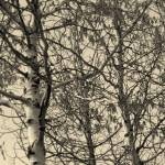 """Birch Trees in Winter"" by Sari_McNamee"