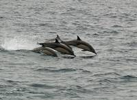 D-17 Common Dolphin