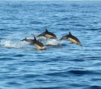 D-06 Common Dolphin