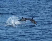 D-49 Common Dolphin