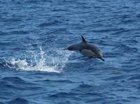 D-50 Common Dolphin