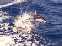 D-45 Pacific White Sided Dolphin