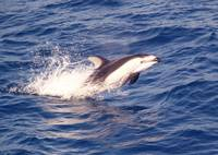 D-51 Pacific White Sided Dolphin
