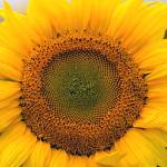 """Sunflower Closeup"" by FoxtowerPhotography"