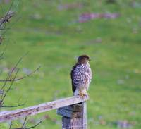 A yerling Red Tail Hawk