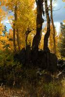 Ancient Aspen Snag, Sierra Nevadas