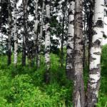 """poplars"" by SullivansPhotoSnacks"