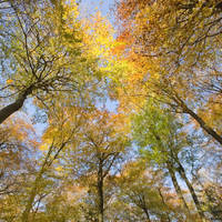 """Golden Canopy"" by Ceri Jones"