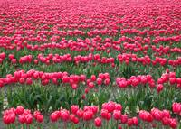 Skagit Valley Ocean of Pink