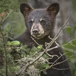 """Black Bear Cub 0302"" by RandallNyhof"