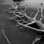 """Driftwood Beach BW"" by RandallNyhof"