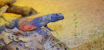Colorful Chuckwalla lizard