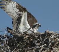 Osprey on Nest, Mono Lake