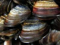 Colourful mussels